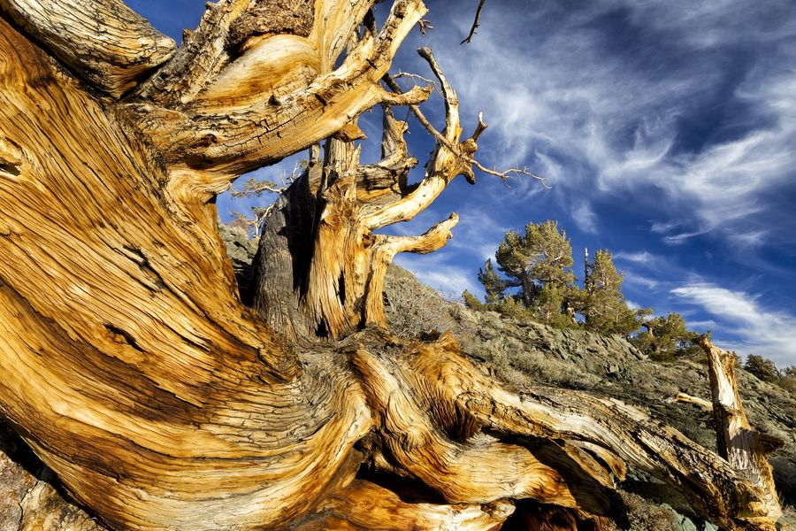 arbres de datation de carbone